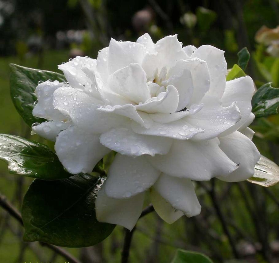 Цветок гортензия жасминовидная