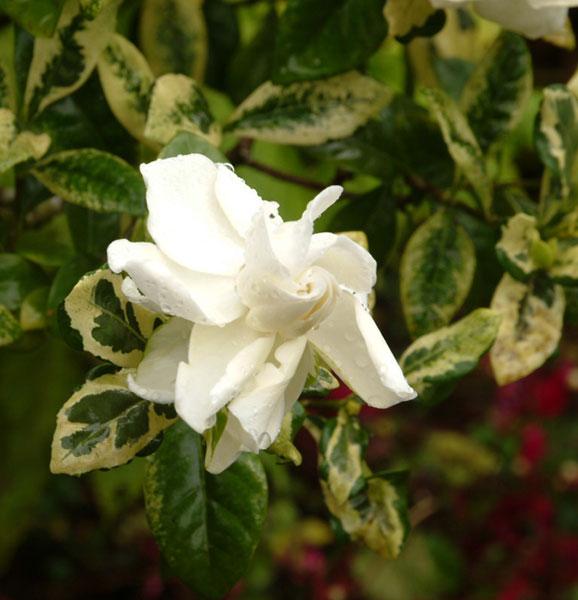 Gardenia Radicans Variegata: Каталог декоративных кустарников