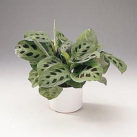 Род Маранта (Maranta L.) насчитывает около 25 видов растений, семейства марантовых. .